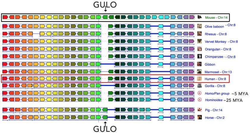 synteny-GULO region