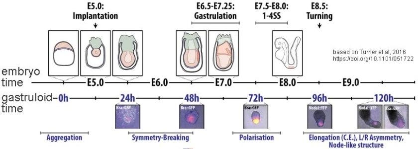 gastruloid-embryo-comparison