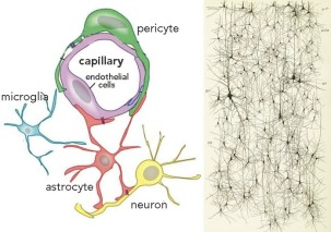 capillary and neurons