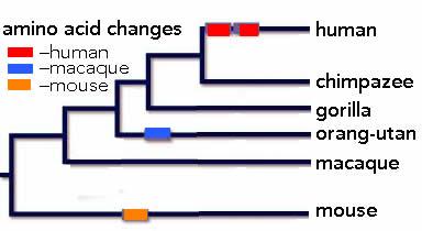 foxP2 evolution