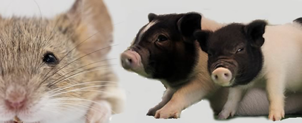 mouse and pig