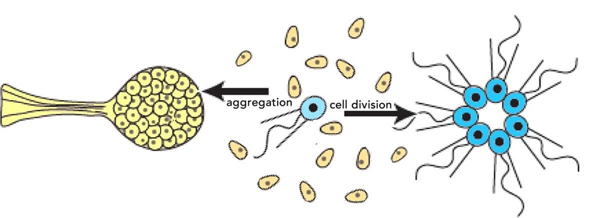 Aggregative & clonal metazoans: a biofundamentalist perspective