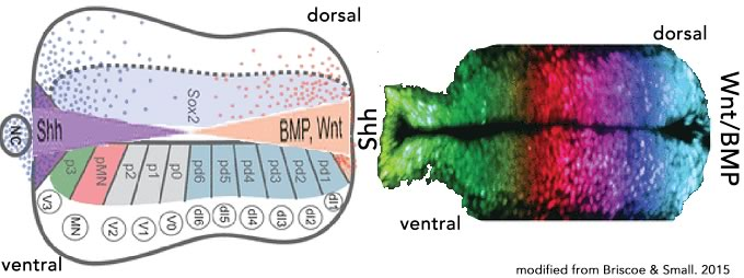 Gradients and Molecular Switches (a biofundamentalist perspective)