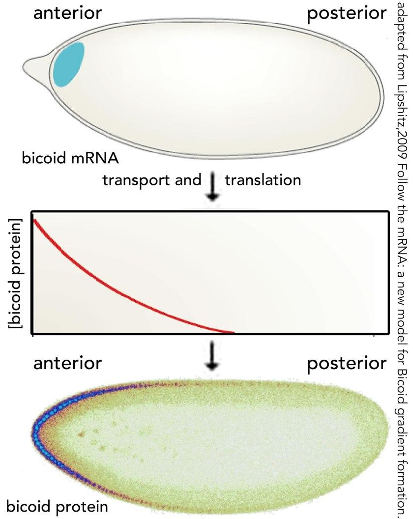 bicoid gradient - lipschitz