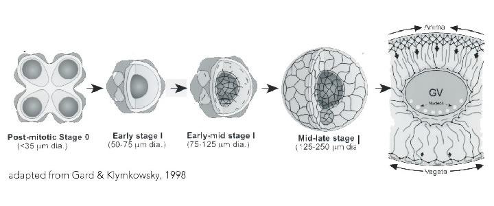 Establishing Cellular Asymmetries(a biofundamentalistperspective)
