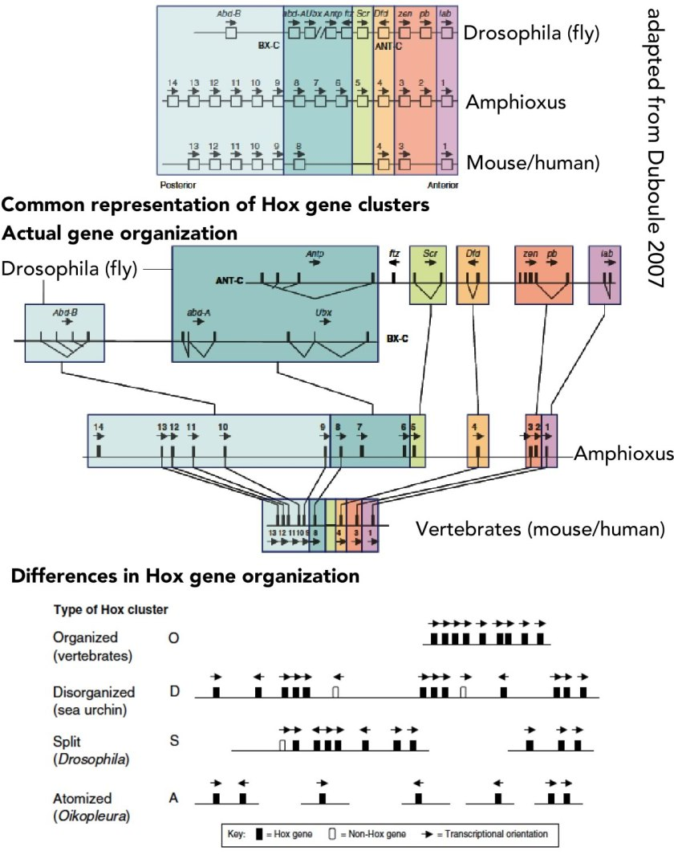 hox gene cluster variation